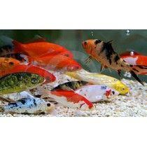 5 Gold Fish Dorado