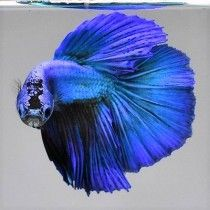 PEZ BETTA MACHO AQUAVIDA DIFERENTES COLORES SPLENDER