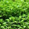 PLANTA NATURAL TAPIZANTE GLOSSOSTIGMA