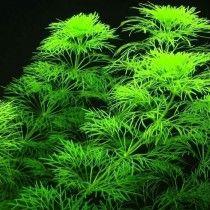 """Planta Natural Para Acuario Limnophila Aquatica Ambulia""""  X 5 Tallos"""""""