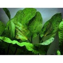 Planta Natural Para Acuario Echinodorus Ozelot Pequena X 1