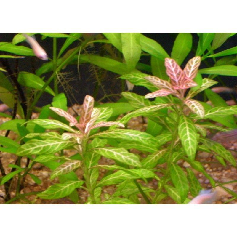 Hygrophila P. rosanervig x 5 tallos