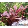 Planta para acuario Althernantera Reineckii Mini X 3 Tallos
