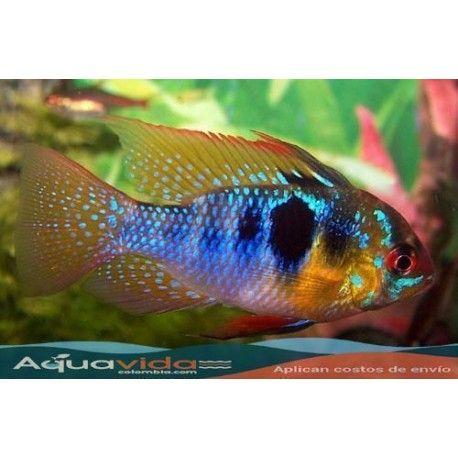 Pez ramirezi para acuario for Antialgas para estanques con peces