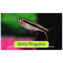 PEZ TETRA PINGUINO 3-4CM APROX
