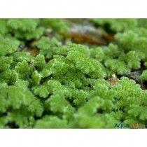 Planta Natural Flotante Para Acuario Azolla Caroliniana