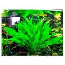 Planta Natural Para Acuario Echinodorus Amazonicus x 1