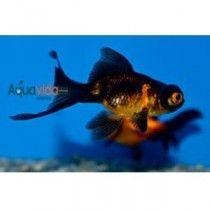 3 Hermosos peces telescopio para Acuarios y Estanques