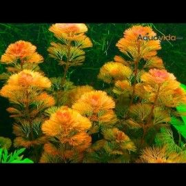 Planta Natural Para Acuario Cabomba Furcata x 5 tallos