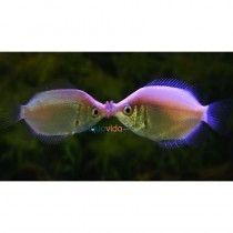 2 peces Gurami Besador para Acuarios